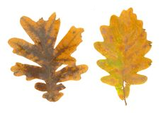Folhas isoladas da queda no fundo branco Foto de Stock Royalty Free
