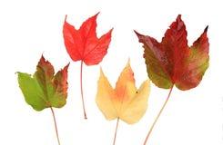 Folhas isoladas da videira   Imagem de Stock