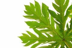 folhas isoladas, espaço da papaia da cópia Fotos de Stock Royalty Free