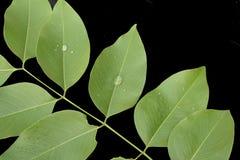 Folhas isoladas, fechado acima nas folhas verdes isoladas na parte traseira do preto Imagem de Stock