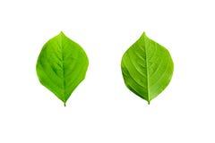 folhas isoladas no fundo branco Fotos de Stock