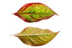 folhas isoladas no fundo branco Imagens de Stock