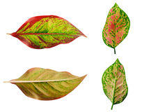 folhas isoladas no fundo branco Fotografia de Stock Royalty Free