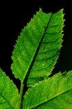 Folhas isoladas no preto Fotos de Stock Royalty Free