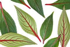 Folhas isoladas verdes e do vermelho Fotos de Stock Royalty Free