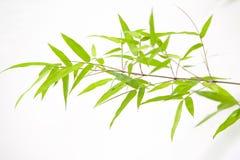 Folhas japonesas do bambu Imagens de Stock Royalty Free