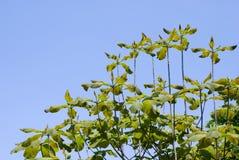 Folhas japonesas do magnolia do whitebark Fotografia de Stock