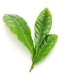 Folhas japonesas do resplendor do chá verde primeiramente fotografia de stock