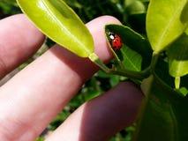 Зеленый цвет листьев folhas joaninha ladybug макроса стоковые фотографии rf