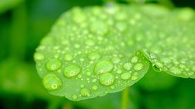 Folhas largas do verde Imagem de Stock Royalty Free