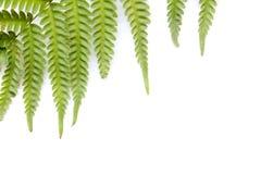 Folhas leves do verde da samambaia foto de stock