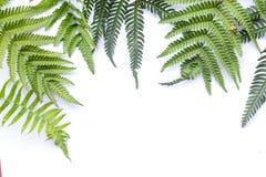 Folhas leves do verde da samambaia imagens de stock royalty free