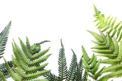Folhas leves do verde da samambaia fotografia de stock royalty free