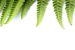 Folhas leves do verde da samambaia foto de stock royalty free