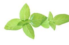 Folhas leves e delicadas da manjericão imagem de stock