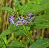 Folhas lilás da flor e do verde Imagens de Stock