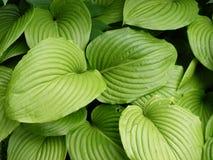 Folhas listradas Fotos de Stock