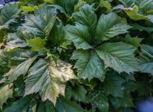 Folhas luxúrias do verde Fotografia de Stock