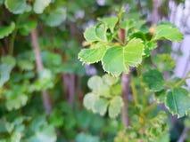 Folhas macias do verde do foco como um fundo Imagens de Stock Royalty Free