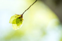 Folhas macias do vidoeiro Imagem de Stock Royalty Free