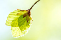 Folhas macias do vidoeiro Fotografia de Stock Royalty Free