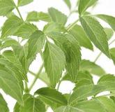 Folhas mais velhas da planta Fotografia de Stock