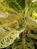 Folhas manchadas Fotografia de Stock