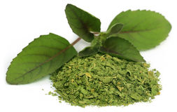 Folhas medicinais da manjericão ou do tulsi do holi Fotografia de Stock Royalty Free