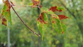 Folhas molhadas coloridas do fim da árvore de cinza do bordo acima no vento filme