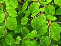 Folhas molhadas da faia Fotografia de Stock Royalty Free