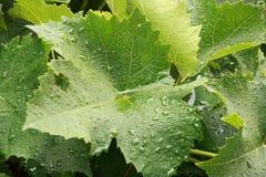 Folhas molhadas da uva Fotos de Stock