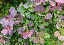 Folhas multicoloridos com gotas da água imagem de stock royalty free