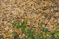 Folhas murchadas da folha e do verde fotos de stock