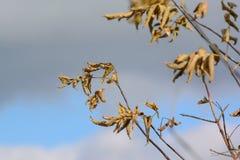 Folhas murchos contra o céu nebuloso Imagem de Stock