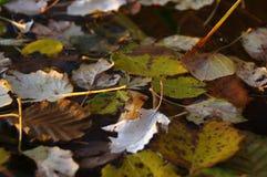 Folhas na água Imagem de Stock