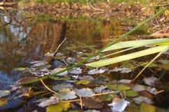 Folhas na água Imagem de Stock Royalty Free