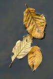 Folhas na água Fotografia de Stock Royalty Free