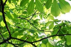 Folhas na árvore Fotografia de Stock Royalty Free