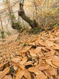 Folhas na floresta galega imagens de stock royalty free