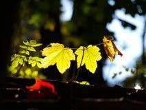 Folhas na luz Imagem de Stock Royalty Free