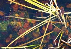 Folhas na parte inferior de um lago congelado Imagem de Stock Royalty Free