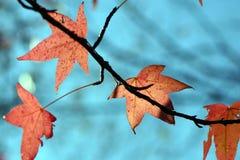 Folhas na queda Imagens de Stock