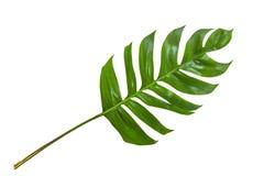 Folhas na selva tropical da folha isolada no fundo branco Imagens de Stock Royalty Free