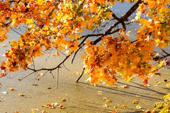 Folhas nas máscaras da cor dourada em um ramo de árvore Fotos de Stock Royalty Free