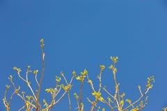 Folhas nas pontas de ramos de árvore contra o céu azul, mola fotografia de stock