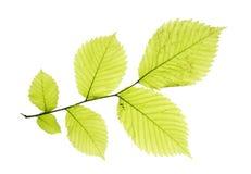 Folhas no branco Fotografia de Stock