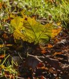 Folhas no outono Fotos de Stock Royalty Free