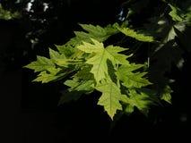Folhas no sol Fotografia de Stock