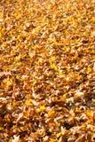 Folhas no sol do outono Fotografia de Stock