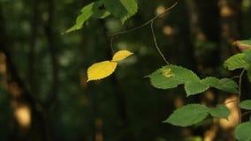 Folhas nos ramos de árvores selvagens no balanço do parque entre os raios do sol durante o close-up da tarde do verão na video estoque